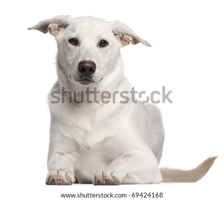 Mixed-breed puppy, 5 months old, lying in front of white background - stock photo