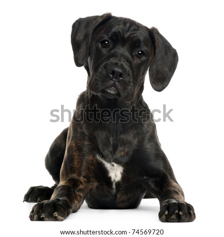 Mixed-breed puppy, 4 months old, lying in front of white background - stock photo