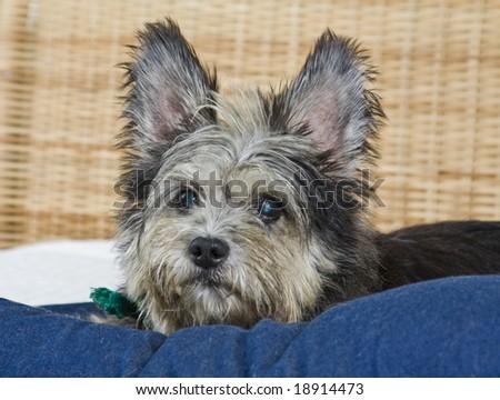 Mixed breed scruffy cute dog - stock photo