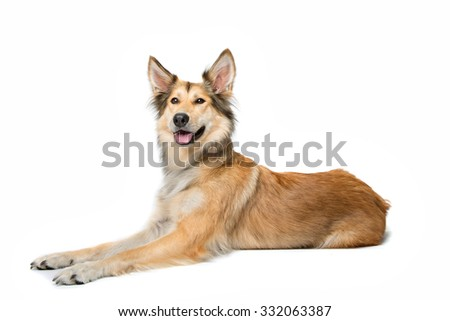 mixed breed shepherd dog lying in front of a white background - stock photo
