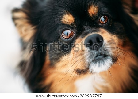 Mixed Breed Small Size Black And Brown Colors Dog Close Portrait - stock photo