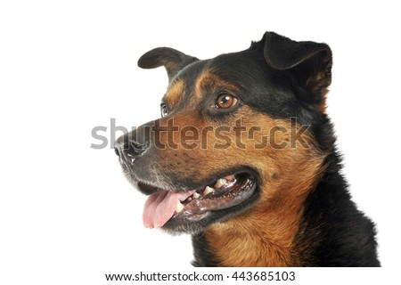 Mixed breed strong dog portrait in white photo background - stock photo