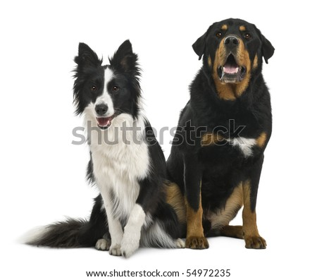 Mixed-breed 5 years old and border collie, 18 months old, in front of white background - stock photo