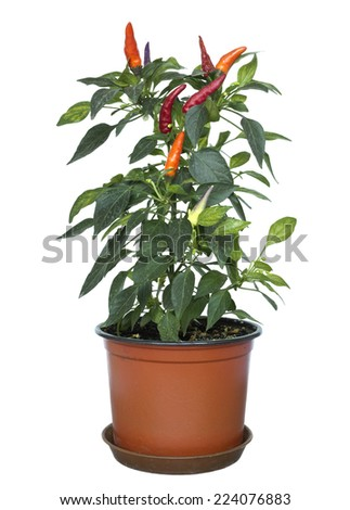 Mixed chili plant in a pot on white background - stock photo
