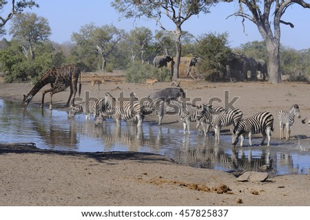 Mixed game drinking at a waterhole during the dry season in the bushveld - stock photo