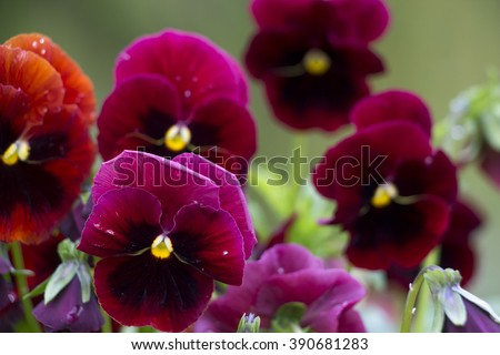 mixed pansies in garden,Pansies close up. Bright flower. - stock photo
