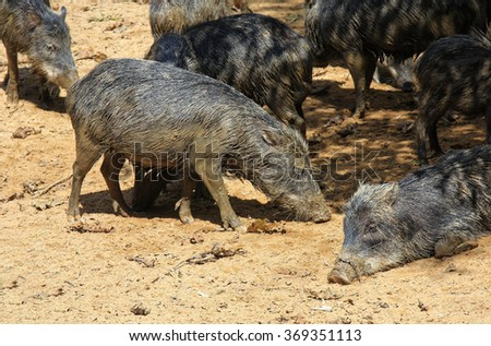 mob of wild smelly pigs in the Amazon jungle - stock photo