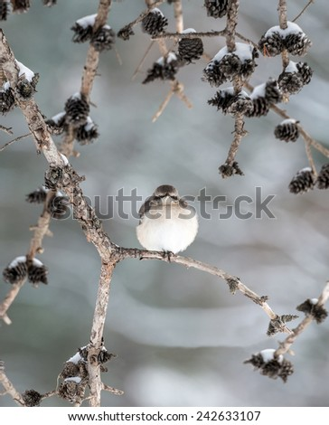 Mockingbird perched on a pine tree branch in Winter - stock photo