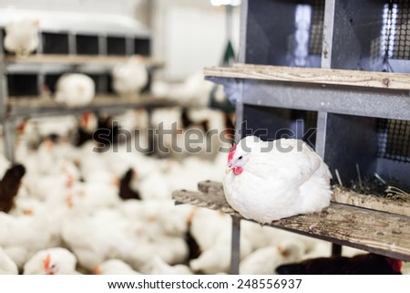 Modern chicken farm, production of white meat.Shallow doff - stock photo