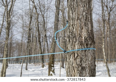 Modern plastic tap attached to a maple tree to collect sap in the springtime - stock photo