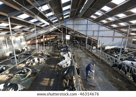 Modern stable interior, with many cows lingering about, light and spacious skylights and a farmer at work - stock photo