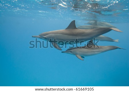 Moher and juvenile Spinner dolphins (Stenella longirostris). Sataya, Southern Red Sea, Egypt. - stock photo