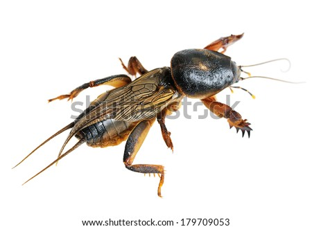 mole cricket macro isolated on white - stock photo