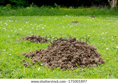 Molehill- lawn which has been damaged by a mole burrowing underneath and pushing up a molehill. - stock photo