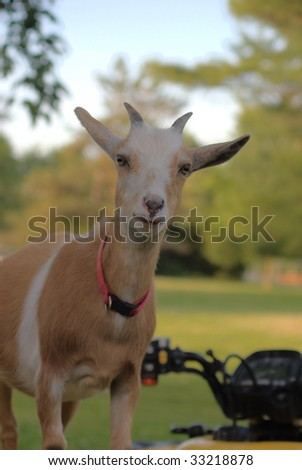 molly the goat standing on an ATV - stock photo