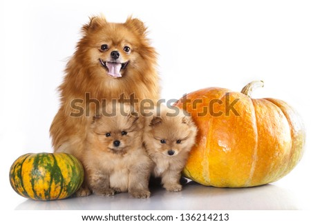 Mom and the kids,  miniature  spitz - stock photo