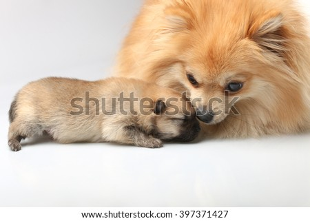 Mom spitz with puppies - stock photo