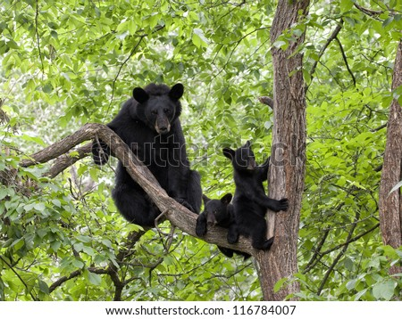 Momma Bear with Two Cubs in a Tree - stock photo