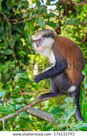 Mona Monkey With Banana in Jungle - stock photo