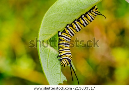 Monarch Butterfly Caterpillar crawling along a milkweed lead. - stock photo