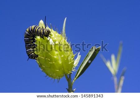 Monarch butterfly caterpillar on a Milkweed. - stock photo