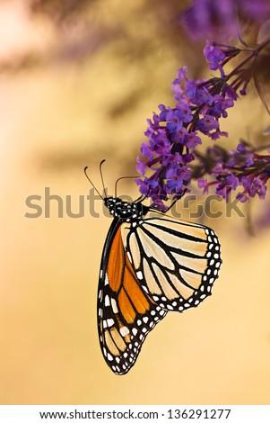 Monarch butterfly (Danaus plexippus) feeding on purple butterfly bush flowers, ventral view. Copy space. - stock photo