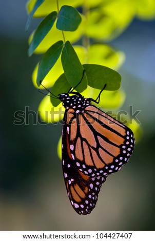 Monarch butterfly (danaus plexippus) perched on leaves  - stock photo