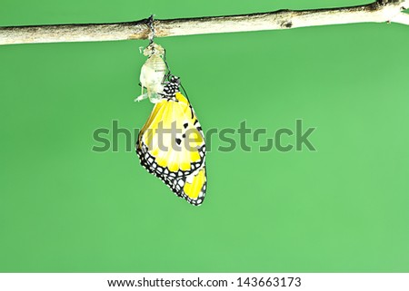 Monarch butterfly emerging from its chrysalis - stock photo