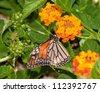 Monarch butterfly feeding on a Lantana flower cluster - stock photo