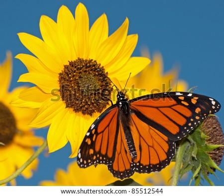 Monarch butterfly feeding on a sunflower against clear blue sky - stock photo
