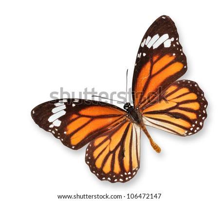 Monarch Butterfly Flying on Isolated White - stock photo