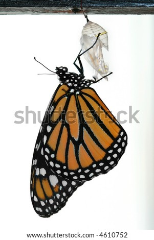 Monarch Butterfly freshly emerged from cocoon - stock photo