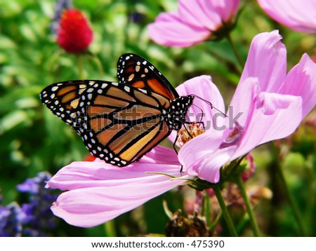 monarch butterfly in blooming garden - stock photo