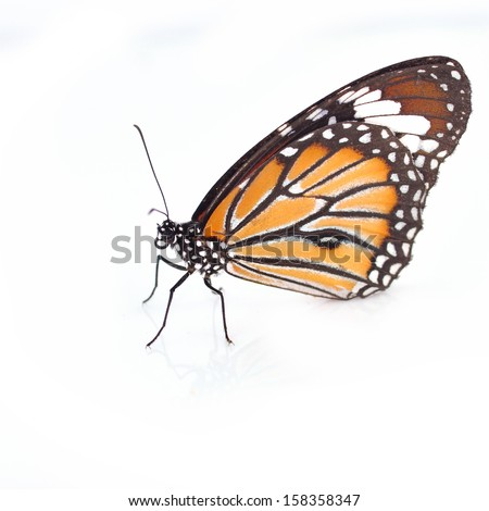 monarch Butterfly isolated on white background - stock photo