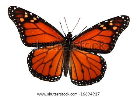 Monarch butterfly isolated on white, clipping path - stock photo
