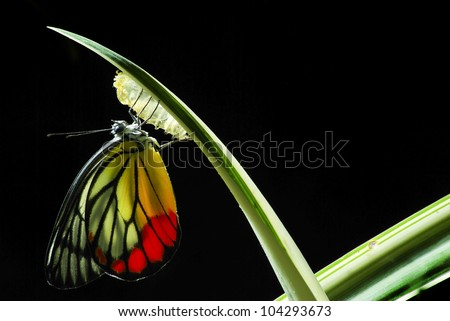 Monarch Butterfly, Milkweed Mania, baby born in the nature. - stock photo