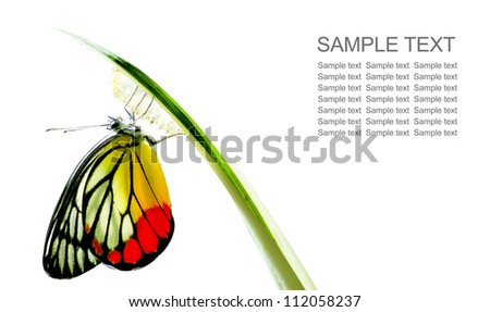 Monarch Butterfly, Milkweed Mania, baby born in the nature isolated on white background - stock photo