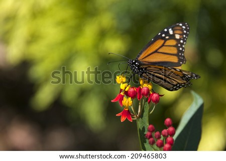 Monarch Butterfly on green leaves. Butterflies are a symbol of resurrection, hope, joy, and new beginnings.In Ancient Greece, they represent the psyche or soul, and its attribute of immortality - stock photo