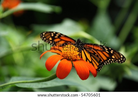 monarch butterfly on mexican sunflower - stock photo