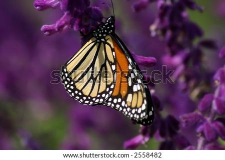 Monarch butterfly on purple flower - stock photo