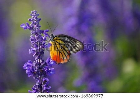 Monarch Butterfly on the Lavender in Garden.  - stock photo