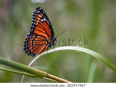 Monarch butterfly rests on blade of grass - stock photo