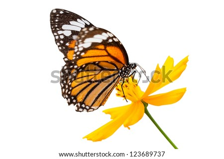 Monarch butterfly seeking nectar on a flower on white background using path - stock photo