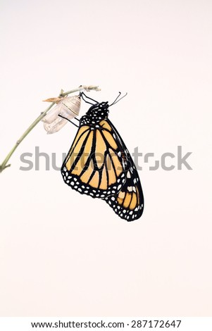 Monarch butterfly that had just hatched and is hanging on his chrysalis while his wings dried. A nice white background for text. - stock photo