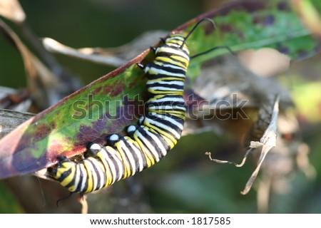 monarch caterpillar - stock photo