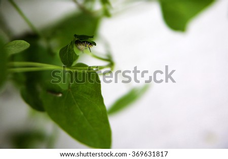 Monarch caterpillars (larva) eating milkweed  - stock photo
