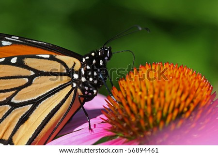 Monarch - Danaus plexippus Close-up Feeding - stock photo