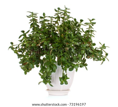 Money tree in flowerpot isolated on white background - stock photo
