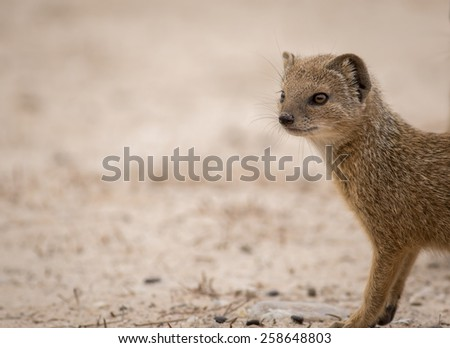 Mongoose Close Up - stock photo