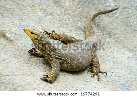 monitor lizard - stock photo